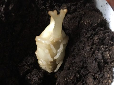 サナギになった幼虫