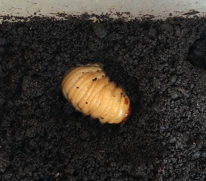 かなり茶色い幼虫