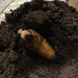 【画像アリ】カブトムシの幼虫がサナギになる瞬間を撮った!(オスとメス)
