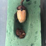 【画像あり】カブトムシのサナギが羽化する瞬間を撮った!(オス)