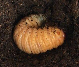 しわしわの幼虫
