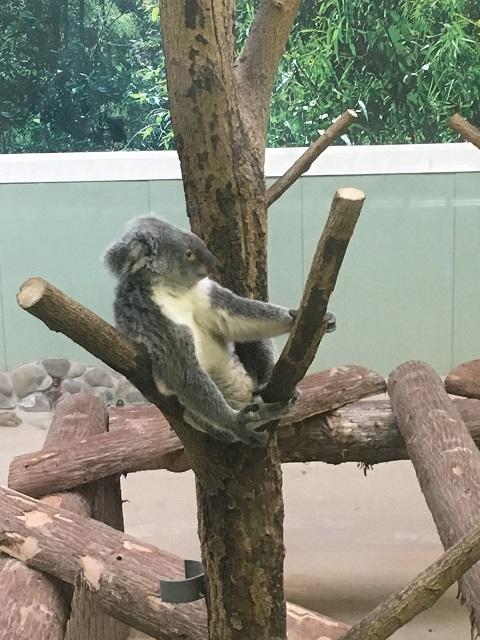 起きているコアラ