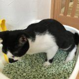 【猫のトイレの砂 比較】急にそそうをするようになった猫のみーちゃん。その理由とは!?
