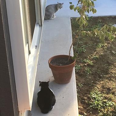 よそ猫を追いかけるみーちゃん