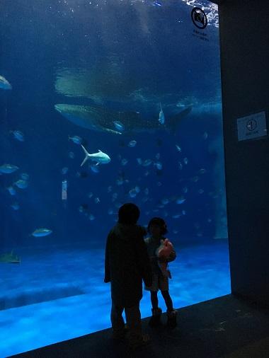 黒潮大水槽のジンベエザメ
