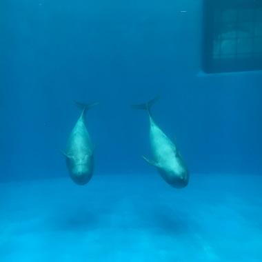 泳ぐ2頭のイルカ