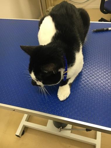 診察台の上の猫のみーちゃん