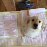 【子犬のしつけ】ゴールデンレトリバーのトイレトレーニングは難しい!?簡単!?